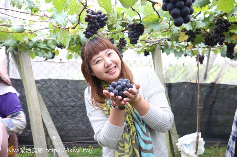 新社新峰農場採果樂 台中景點 新社採溫室葡萄,結實累累又大顆好好吃