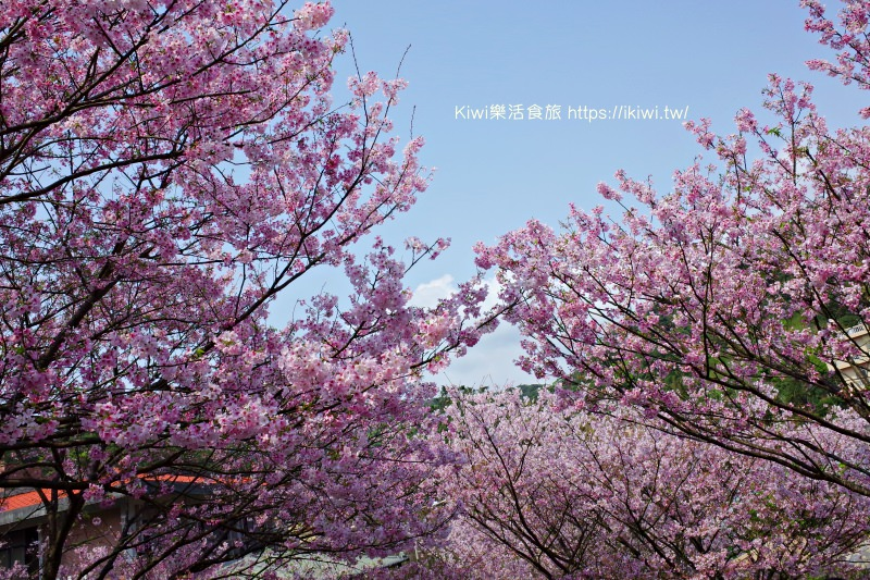 台北櫻花咖啡廳推薦| Orange 橘咖啡賞吉野櫻,滿山谷的櫻花林爆炸,內厝溪櫻花木廊
