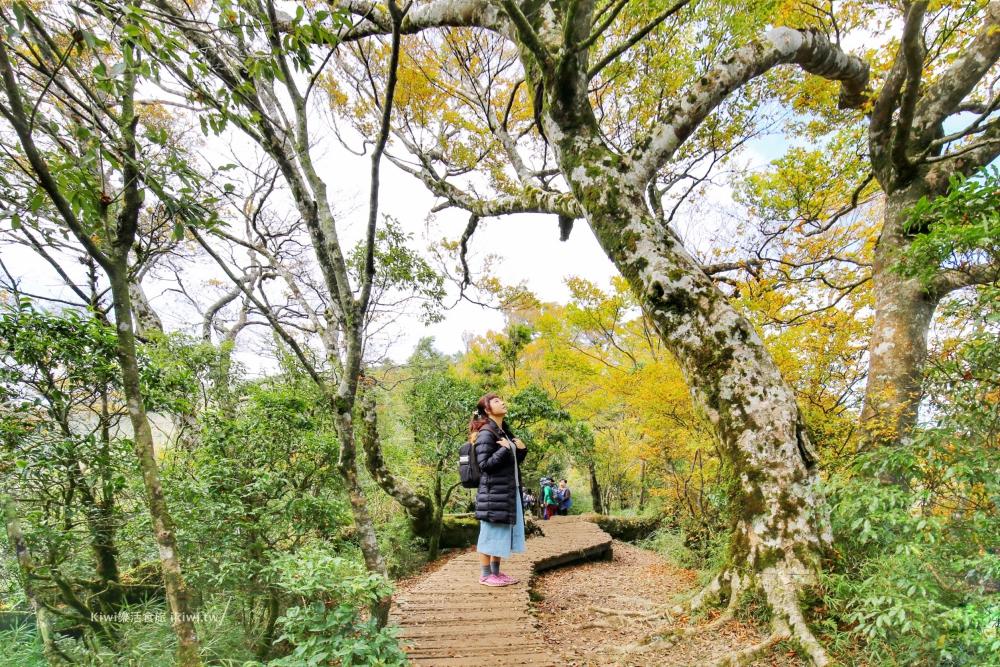 宜蘭太平山山毛櫸步道|太平山秋季限定美景黃金山毛櫸x秋芒x楓葉,金黃祕徑深藏稜線中