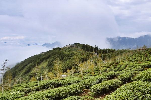 南投鹿谷大崙山觀光茶園、武岫農圃銀杏林景觀步道、銀杏森林茶餐廳,一日遊