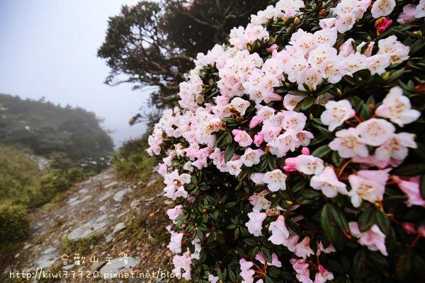 南投景點推薦合歡山主峰賞玉山杜鵑,海拔3417公尺,沿途高山植物甚美