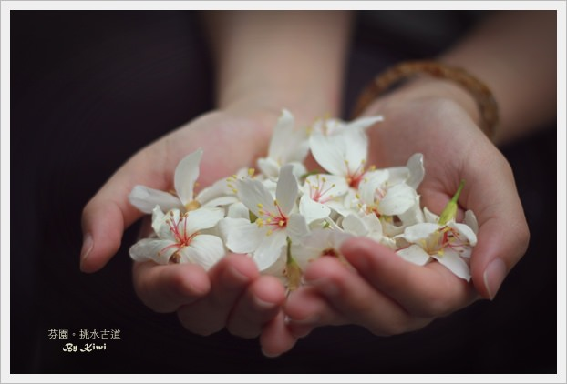 【中部/北部】追桐計畫之邂逅五月雪&必賞桐景點(建議一日賞桐規劃路線)